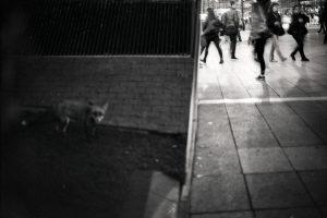 Canary-Wharf-fox.jpg
