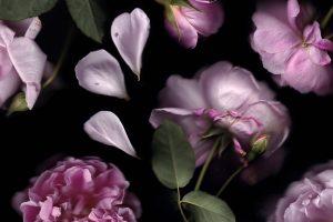 Cottage-Rose_Francesca-Wilkinson-SH.jpg