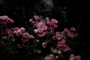 Treptower-Rose-Garden-f61d07a088.jpg