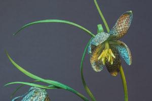 Snakes-Head-Fritillaryd86597bfb5.jpg