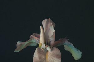 Iris7dae25435a.jpg