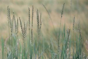 Grassesd90ce03cf8.jpg