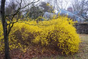 yellow-forsythiaaad99a34e3.jpg