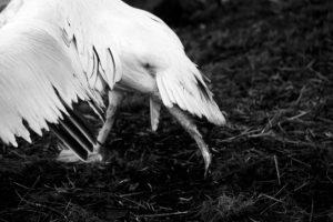 MILLING_pelican00d501efce.jpg