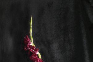 Red-Gladiolus-1ebd2e6ce26.jpg