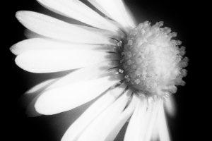 Daisy-for-Shutterhub4b31df06af.jpg