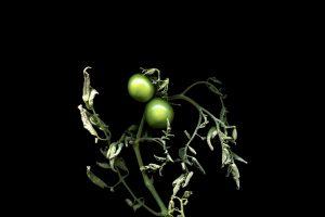 CescaDiebschlag_Green_Tomatoes4801ae3f28.jpeg