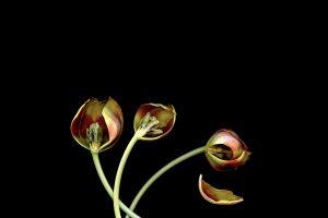 CescaDiebschlag_Tulipsb6088191f3.jpeg